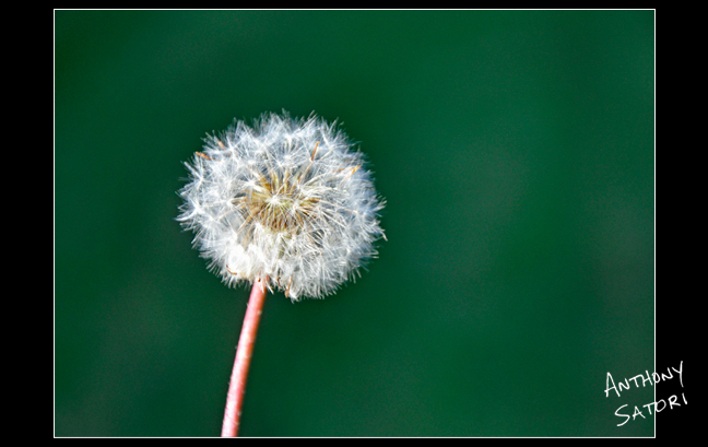 """Dandelion""  