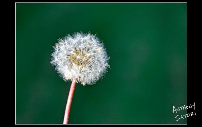"""Dandelion""  |  Anthony Satori"